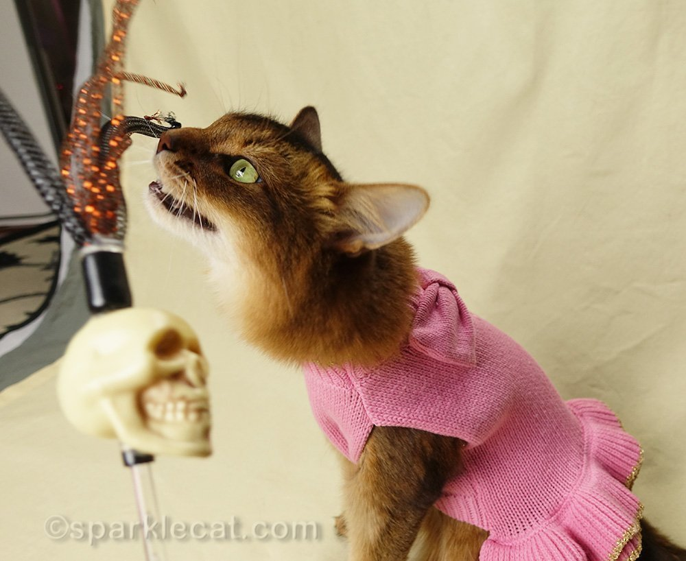 somali cat going after rattle skull cat toy