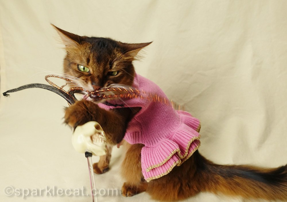 somali cat grabbing onto rattle skull cat toy