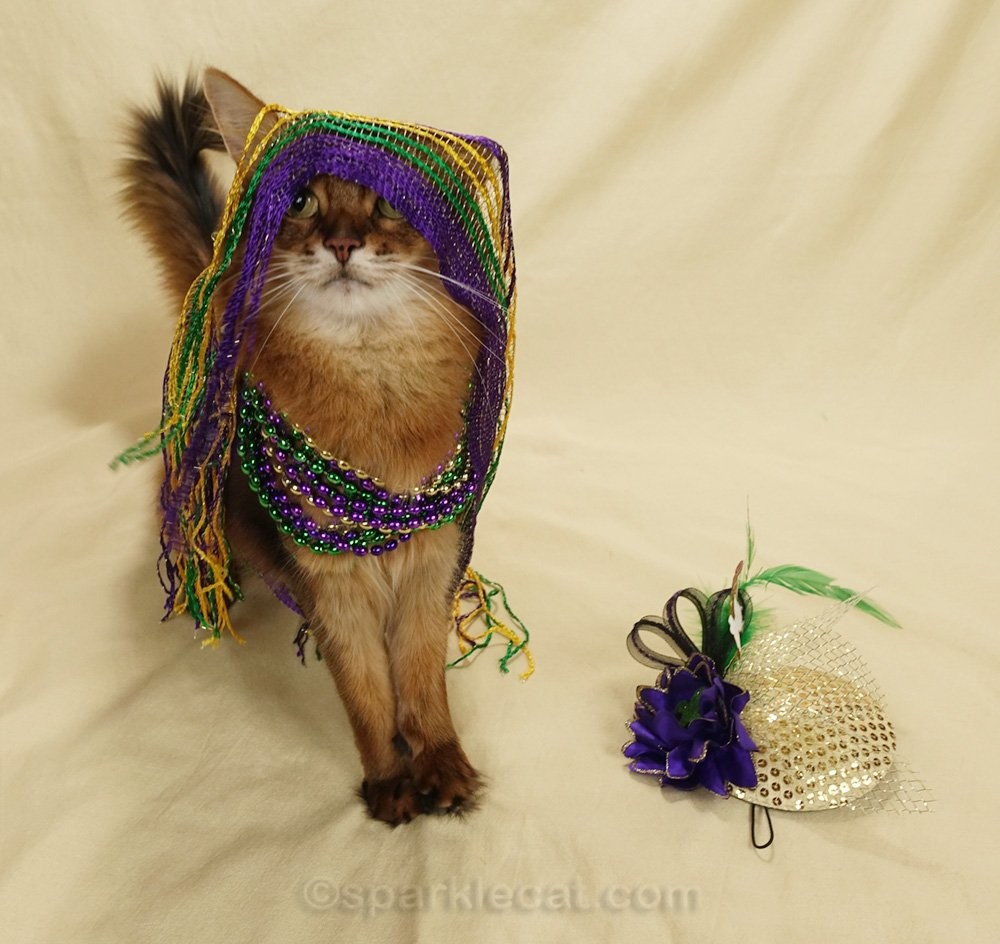 somali cat with scarf draped over her head