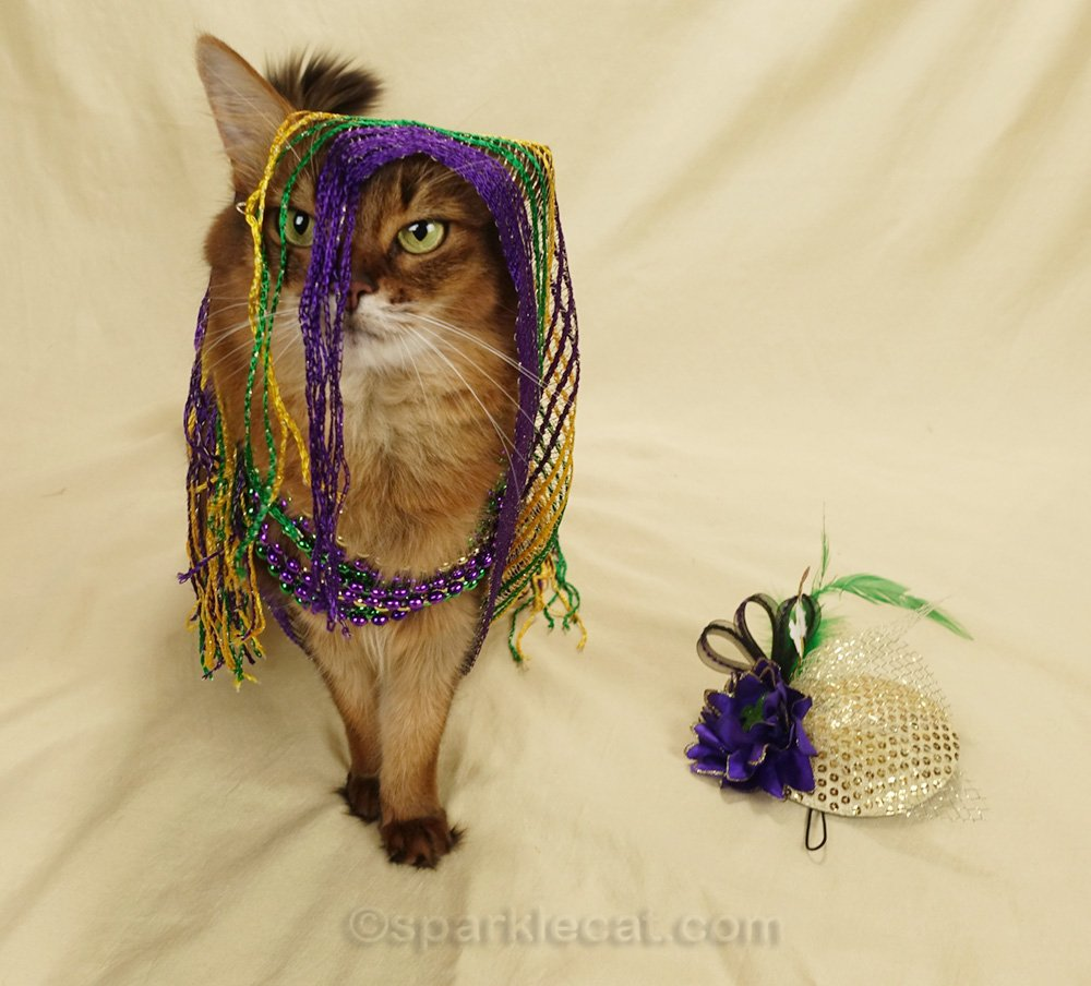somali cat wanting to get serious about Mardi Gras photo shoot