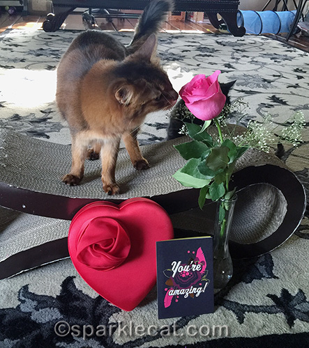 somali cat sniffing valentine's day rose