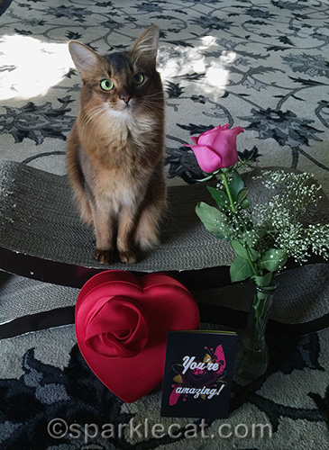 somali cat posing with red candy box, valentine's day card and pink rose
