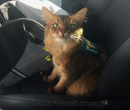 therapy cat wearing vest in car