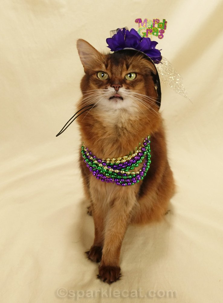 somali cat in Mardi Gras hat and beads, with tongue out
