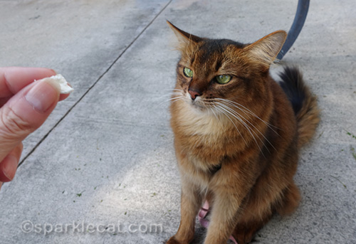 somali cat with her treat face on
