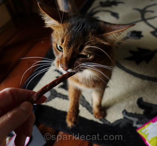 Somali cat chomping on a treat stick