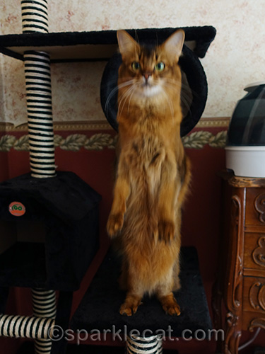 somali cat on hind legs for treat