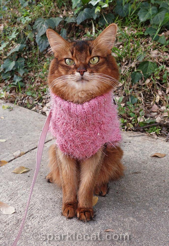 somali cat in garden, wearing fuzzy pink sweater