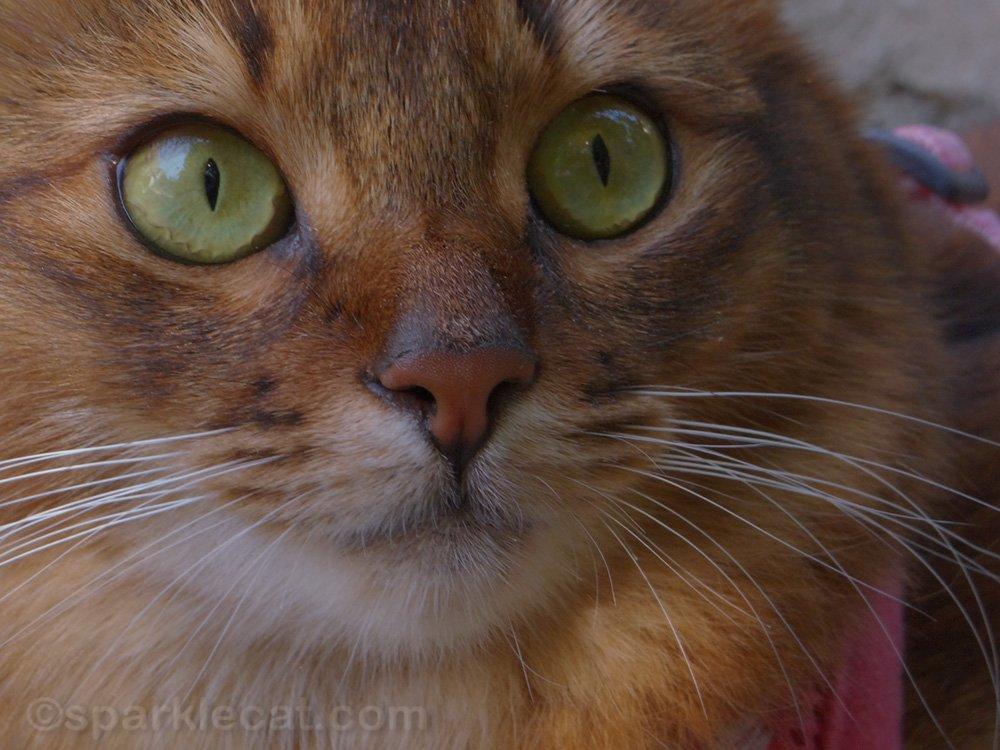 tight close up of somali cat face