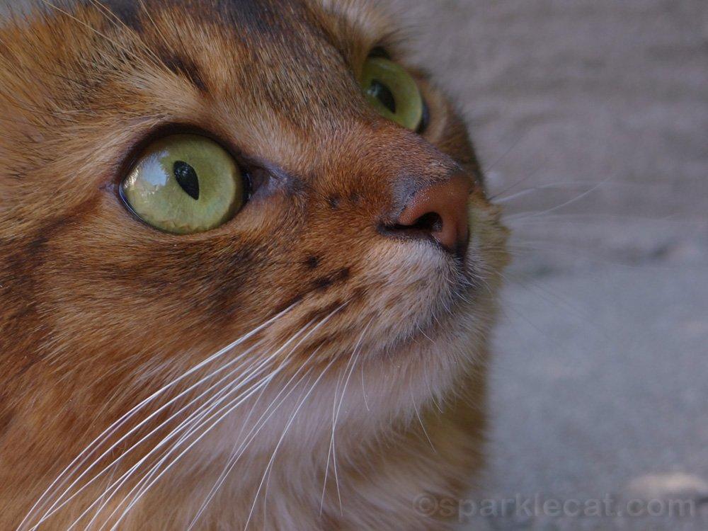 three-quarters close up view of somali cat