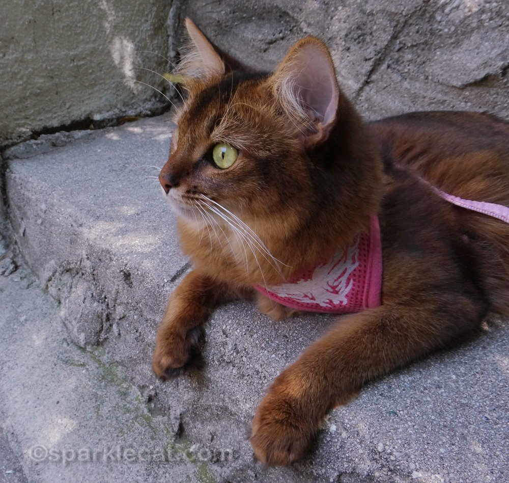 somali cat on leash relaxing on outside steps