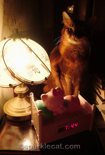 somali cat sitting on nightstand