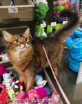 Somali cat treating pet store like her own personal playground