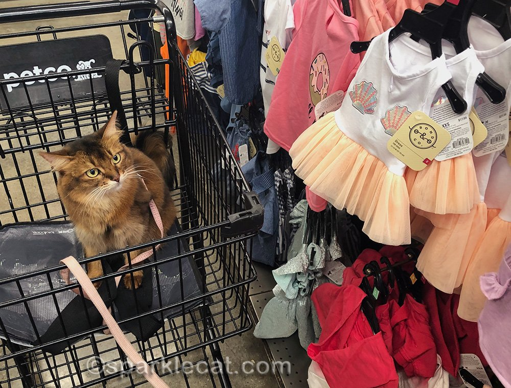 somali cat not impressed by pet dresses