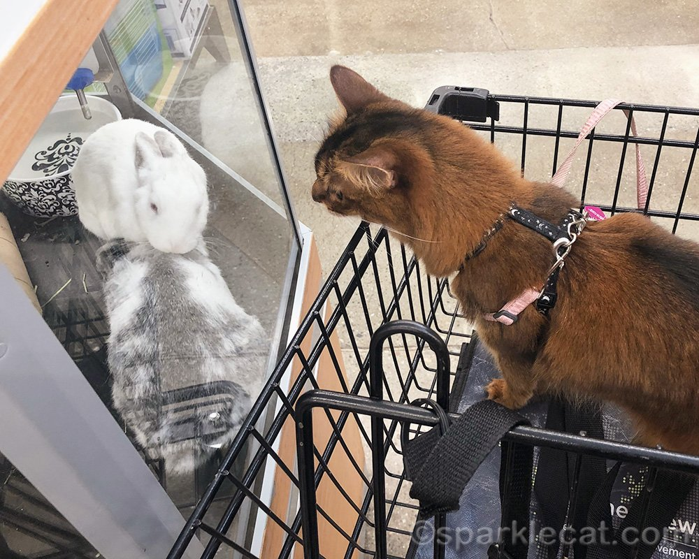Somali cat staring at bunnies in pet store