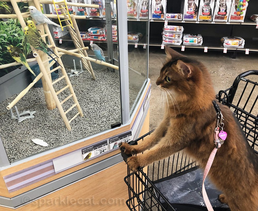 somali cat looking at parakeets