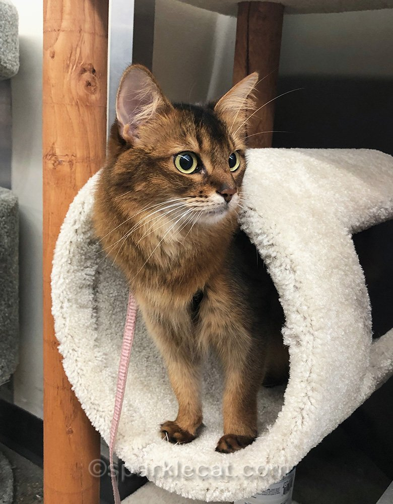somali cat in cat tree tube