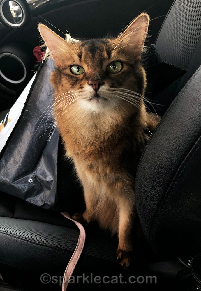 somali cat happy with her shopping trip