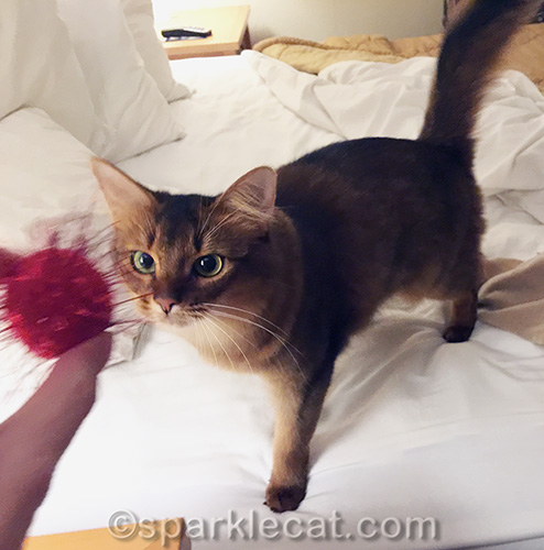 somali cat getting ready to play fetch