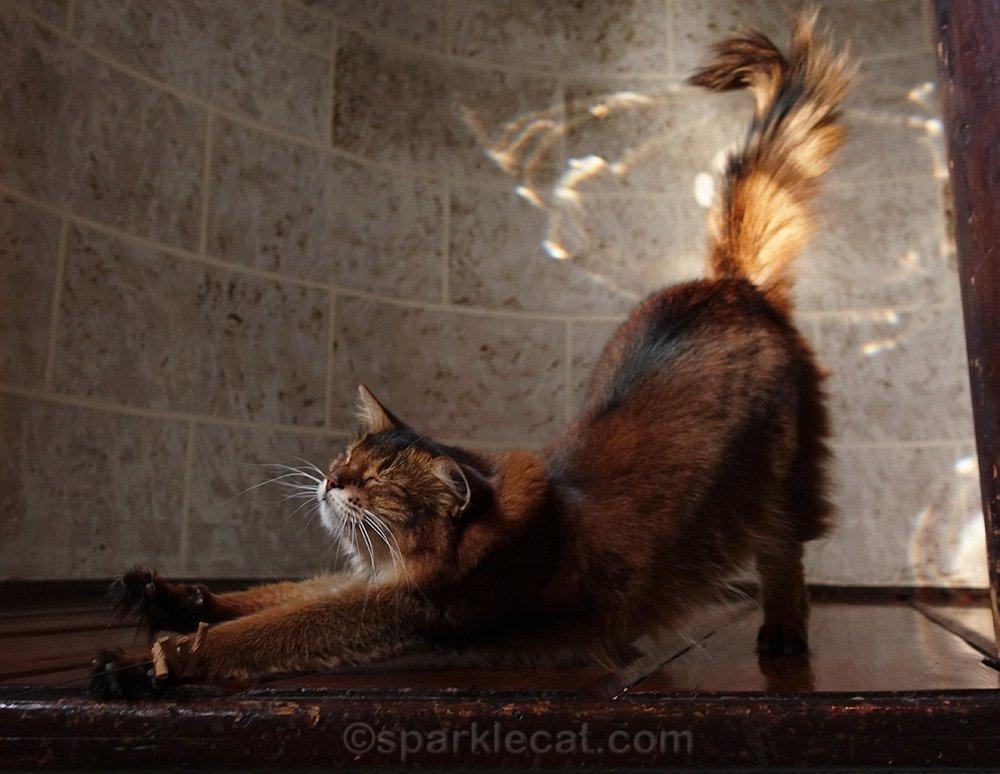 somali cat in turret, stretching