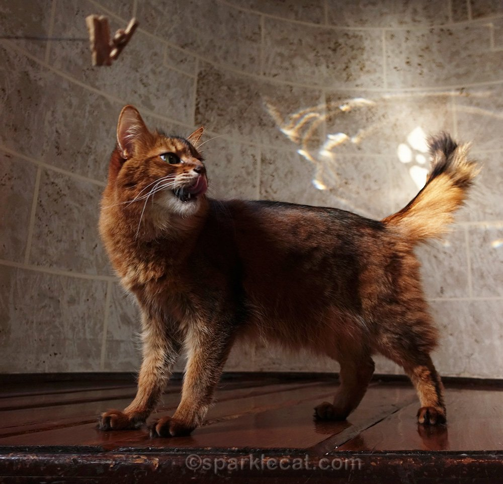 somali cat oblivious to playtime