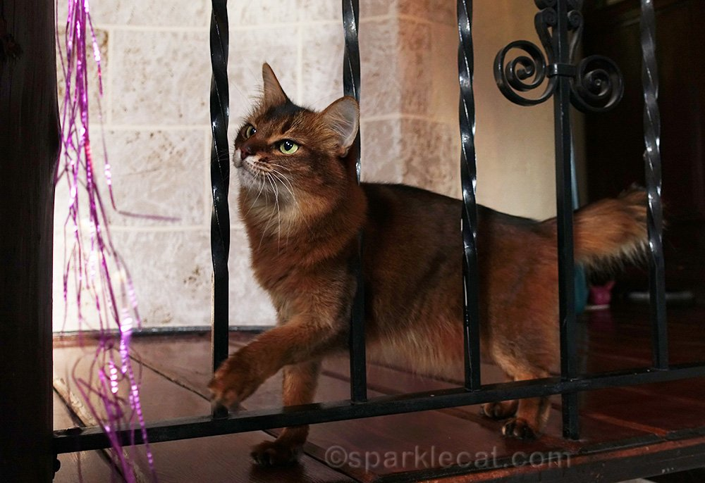 somali cat looking at purple sparkly cat toy