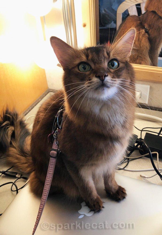 somali cat in movie trailer dressing room