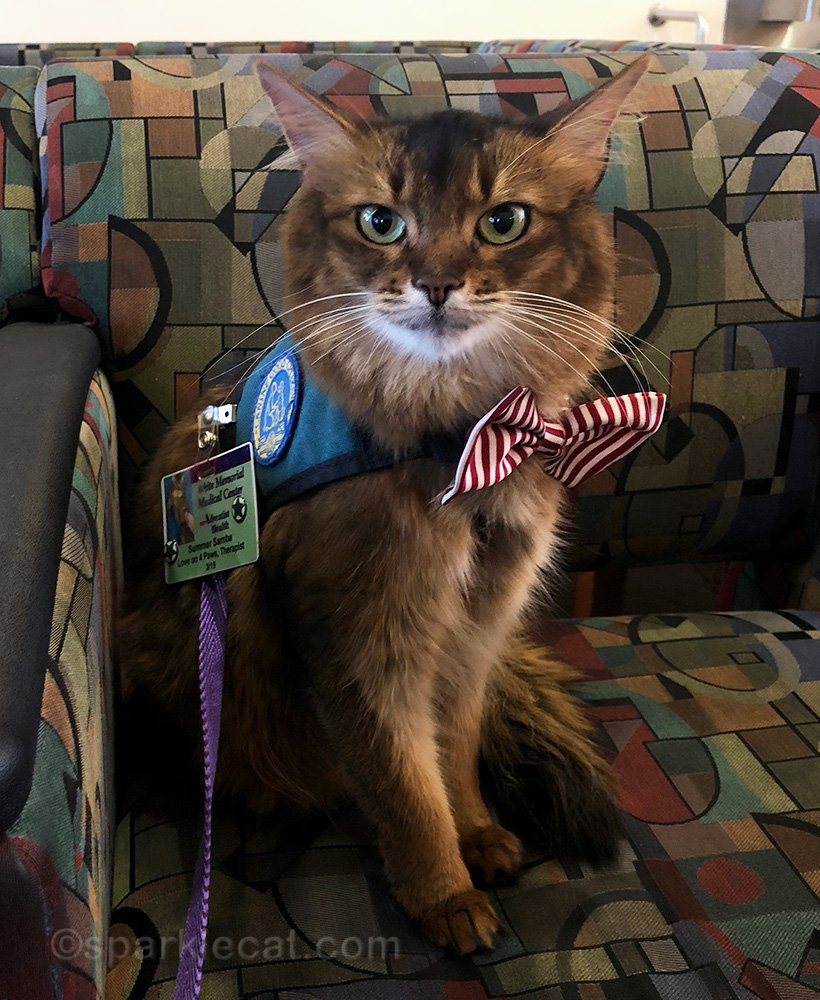 Therapy cat having a nice day visiting the hospital