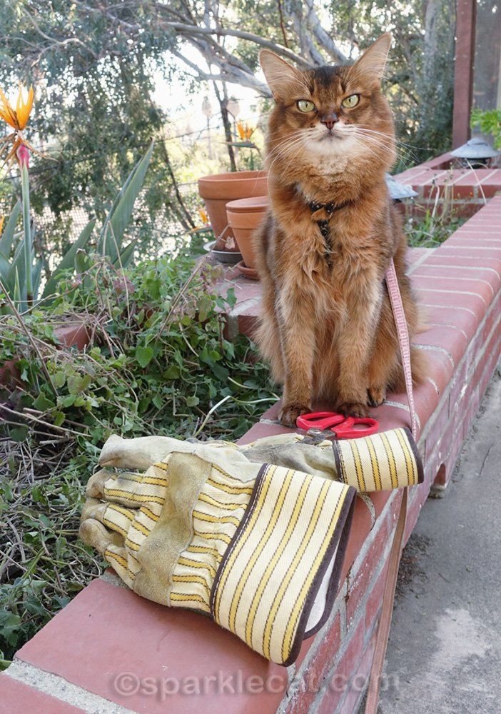 Somali cat with gardening gloves and pruning scissors