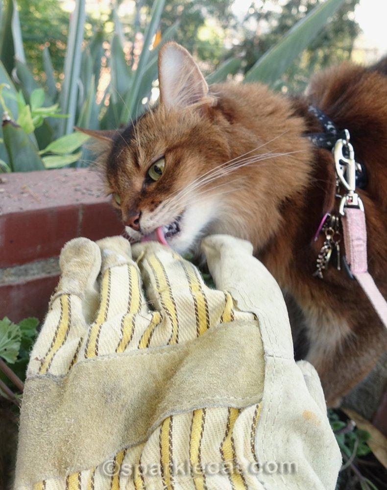 somali cat licking gardening glove