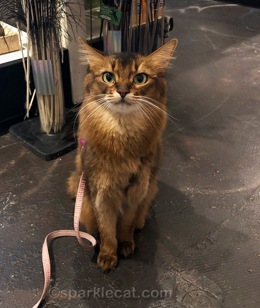 somali cat posing as personal shopper