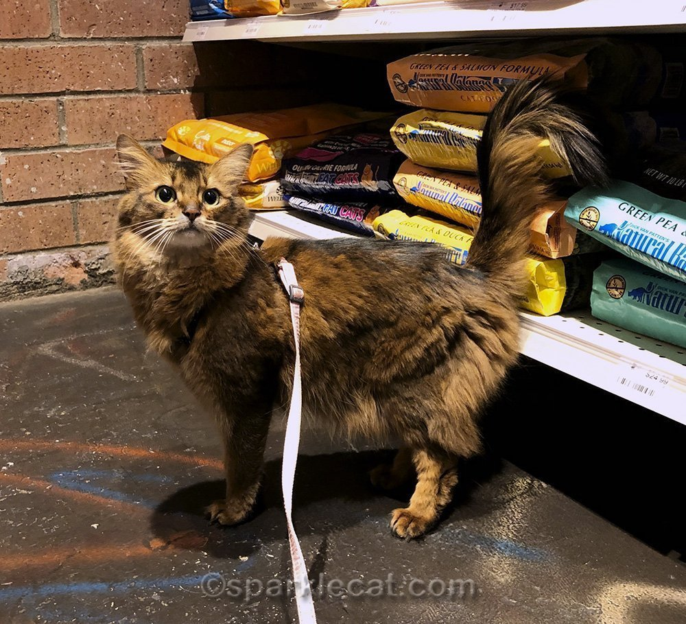 somali cat in pet food section of pet store