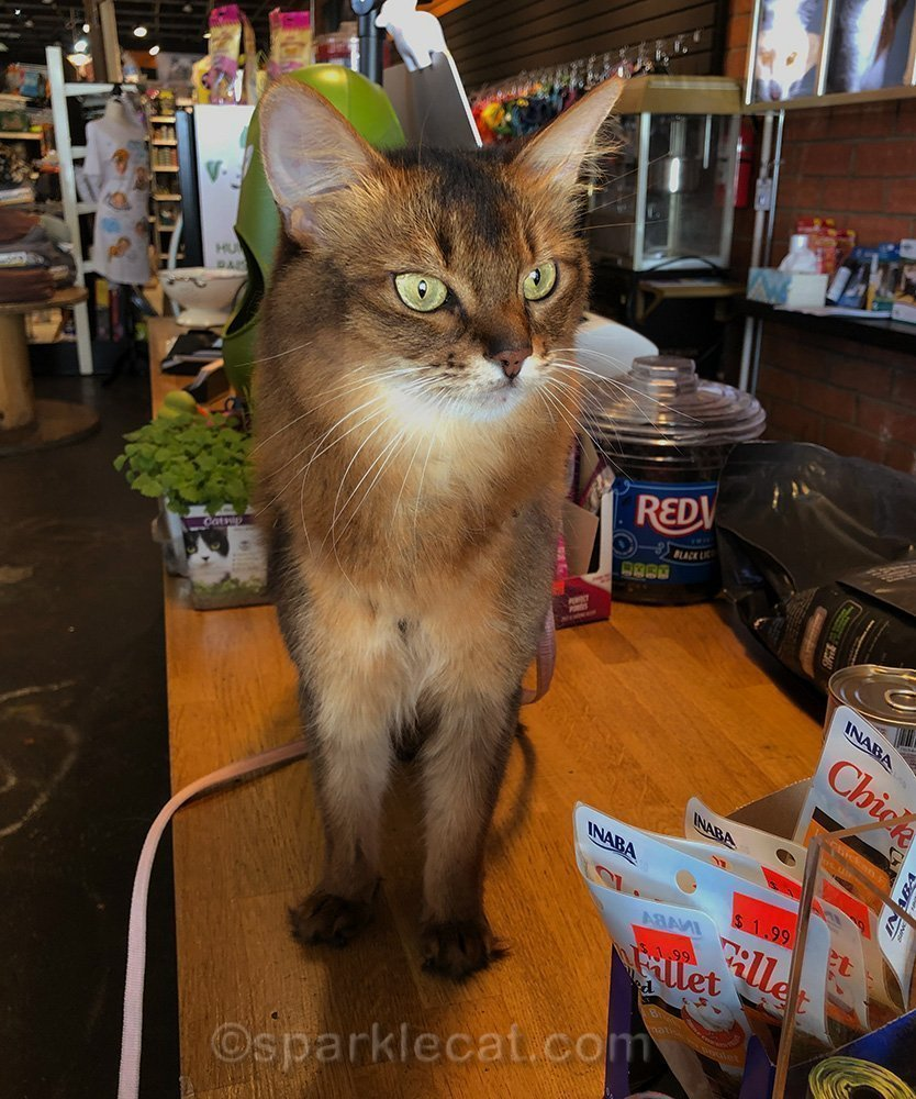 somali cat on counter of pet store during checkout