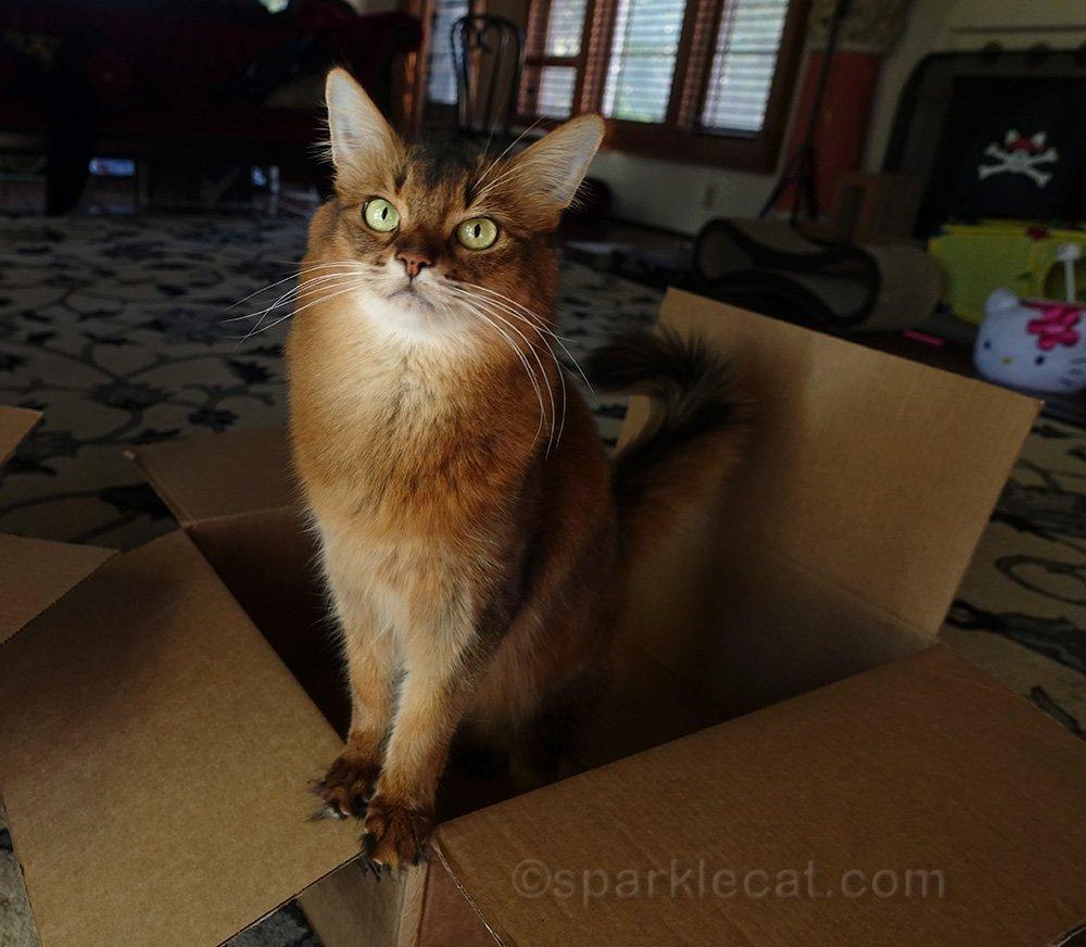 cute somali cat in box