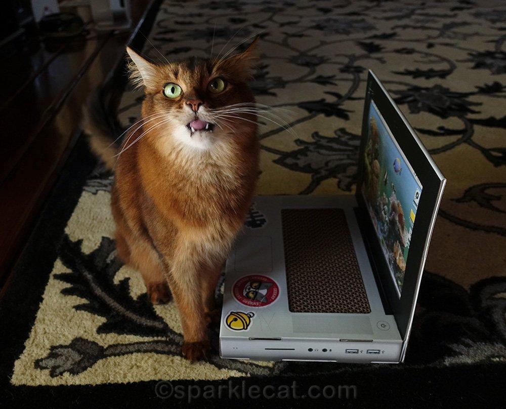 somali cat making a weird face with laptop scratcher
