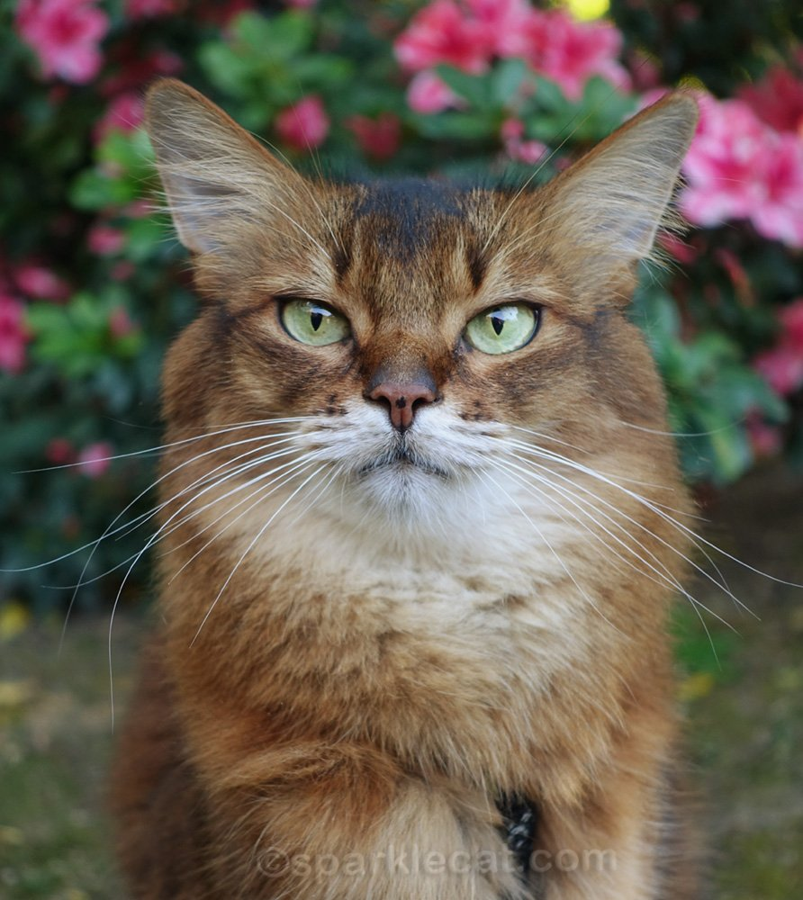 outdoor portrait of a Somali cat
