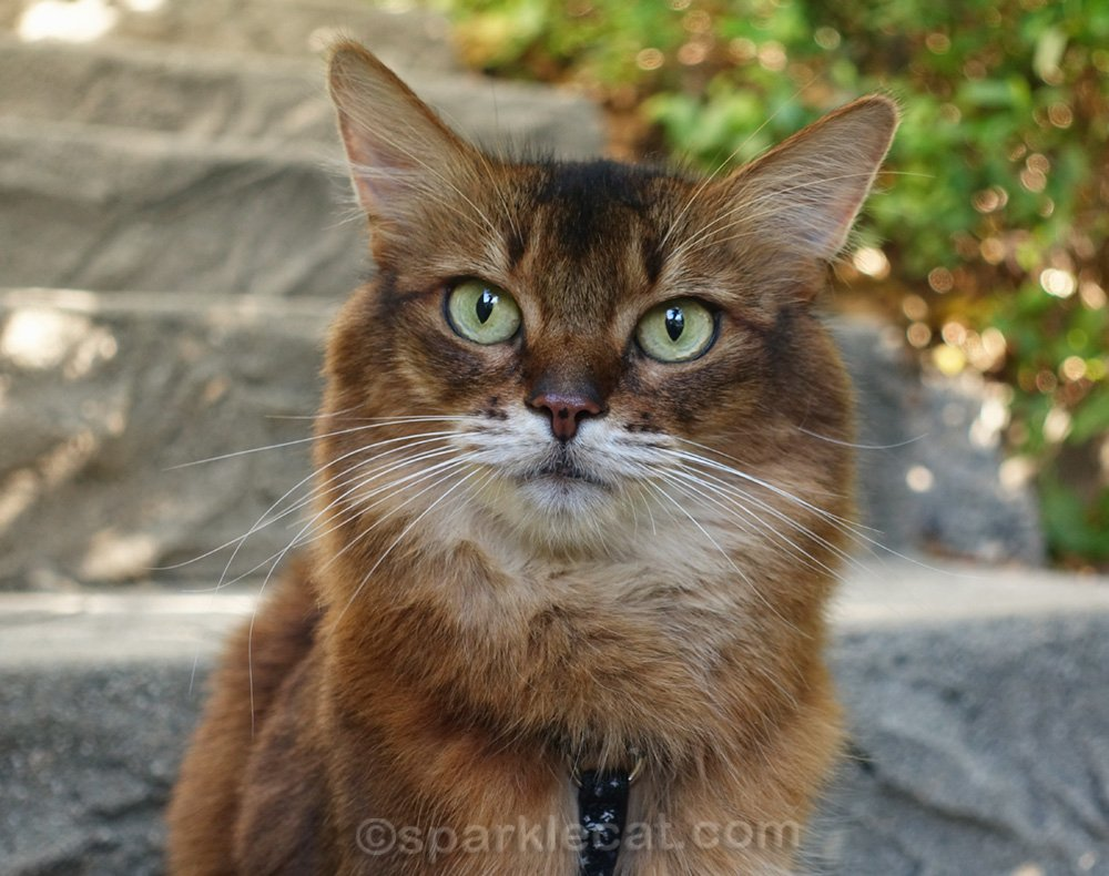 close up of somali cat on stairs
