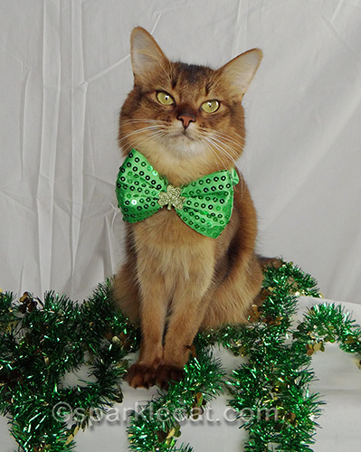 somali cat wearing St. Patrick's Day bow