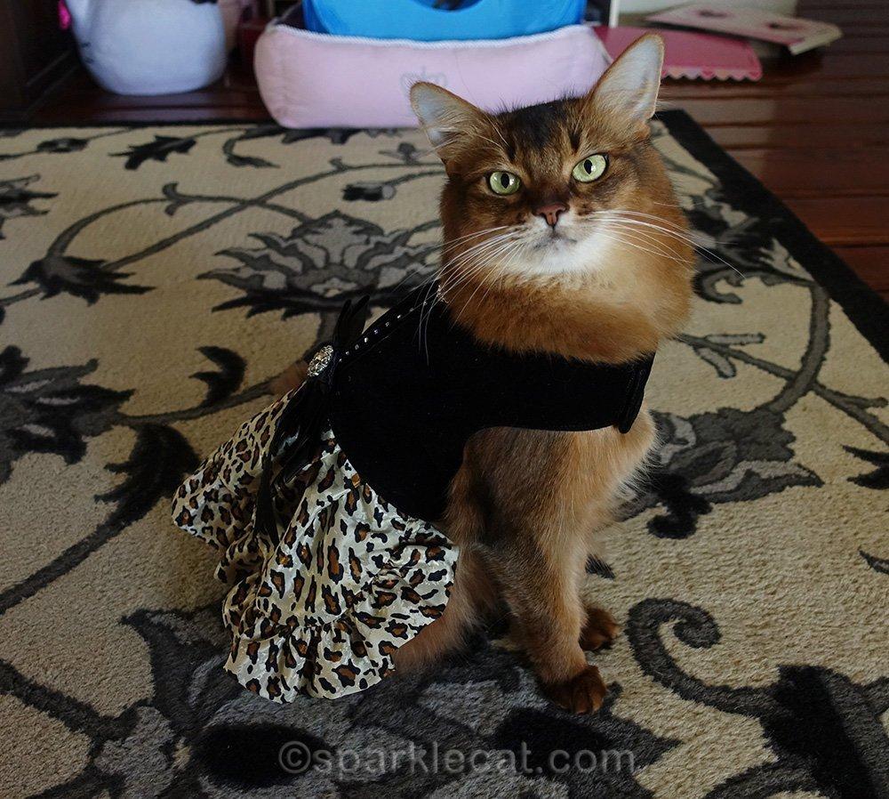 somali cat wearing velvet and leopard print dress