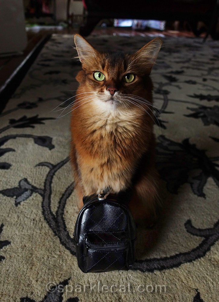 somali cat with black backpack