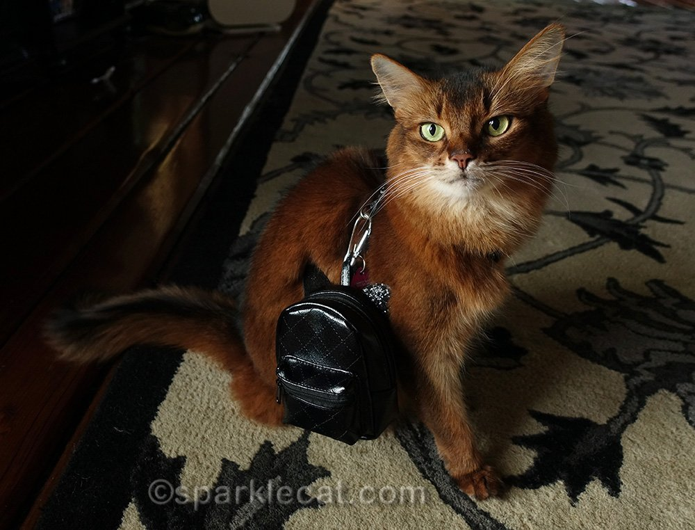 somali cat with backpack attached to harness