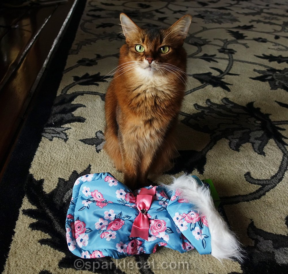 somali cat with parka given to her by a pal