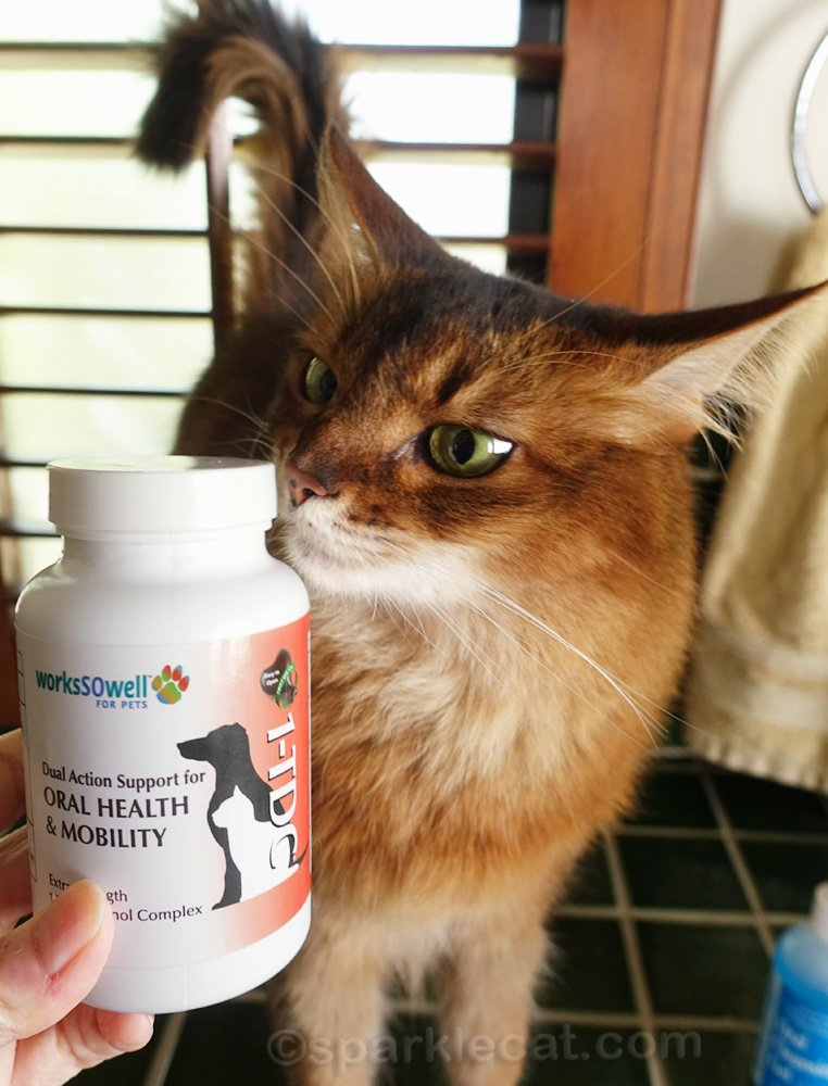 Somali cat with 1TDC for oral health and mobility support