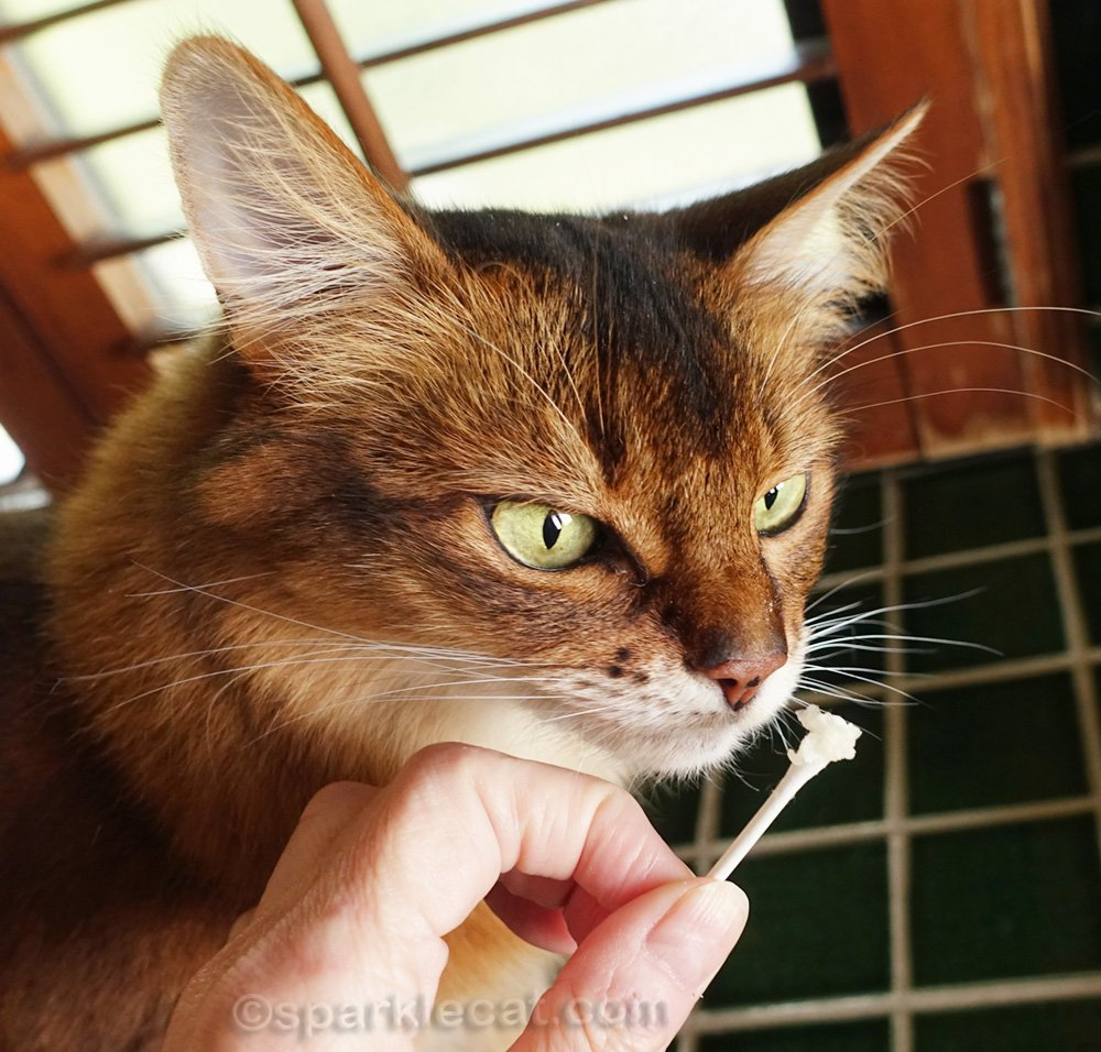 somali cat looking at 1TDC supplement on cotton swab
