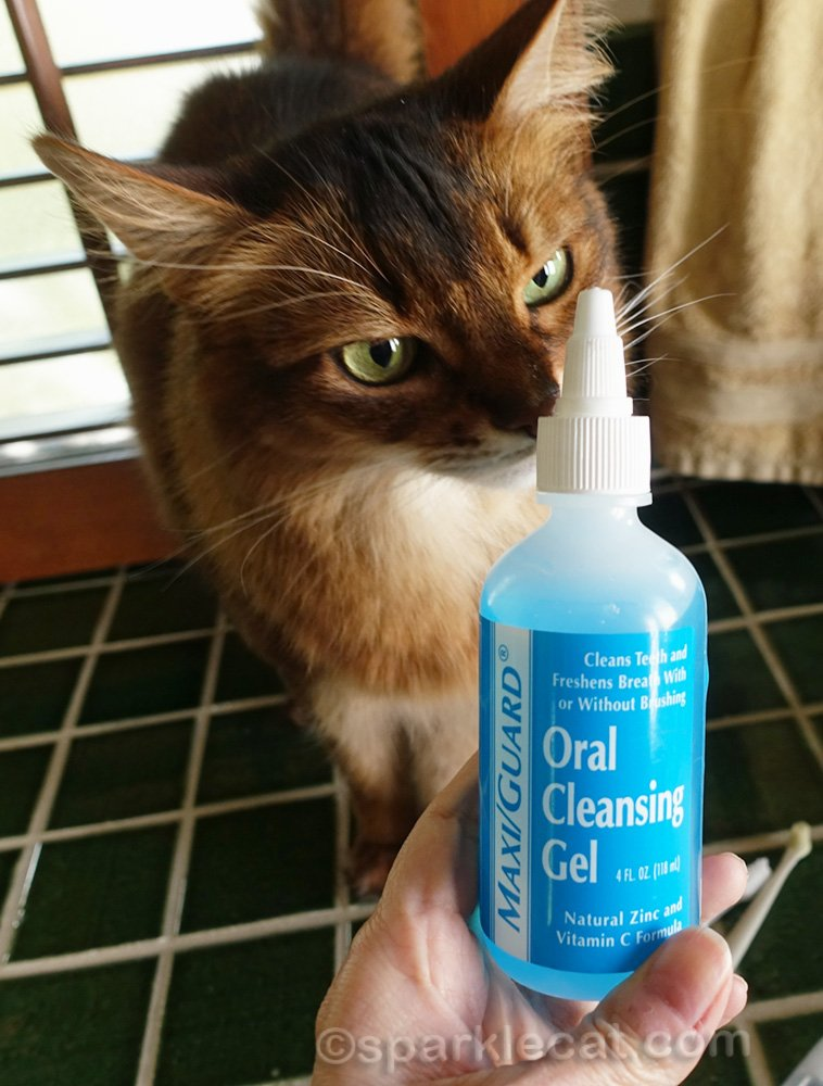 Somali cat posing with MaxiGuard Oral Cleaning Gel for cats