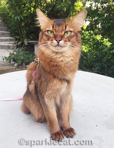 somali cat outside on a harness