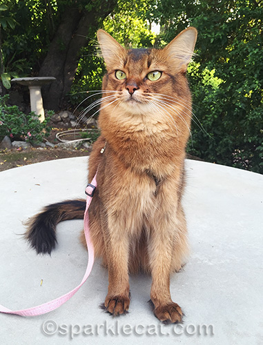somali cat practicing stay command