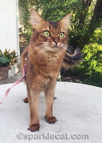 startled somali cat in front yard