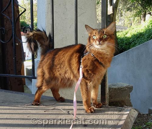 somali cat on bridge in sunlight