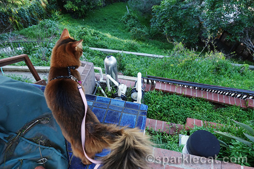 somali cat overlooking the backyard